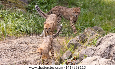 Kids of Cheetah in Zoo