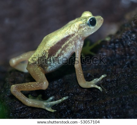 Kihansi Spray Toad from Tanzania. Discovered in 1996, this small toad is near extinction due to dam construction. They live under waterfalls.