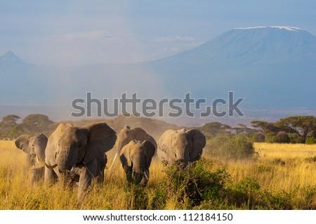 Kilimanjaro Elephants, Kenya