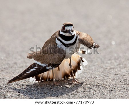 Killdeer birds lay their eggs on the ground by the side of roads and display an aggressive posture to ward of any dangerous animals