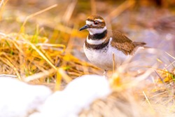 Killdeer (Charadrius vociferus) foraging food on grassy green landscape during summer month. Killdeer have the characteristic large, round head, large eye, and short bill of all plovers.