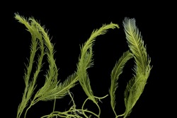 Killer Algae, marine alga, macroalgae, green algae, seaweed (Caulerpa sp.), isolated on black background, seawater algae are found growth underwater in Thailand.