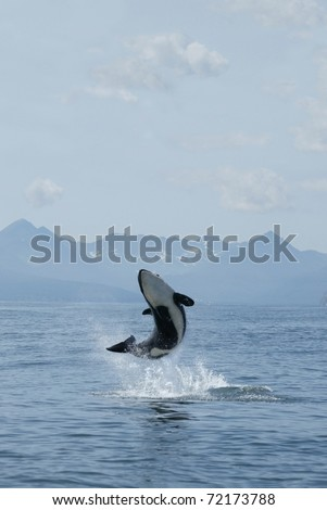 killer whale calf jumping out of the water - stock photo