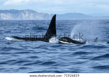 killer whale family traveling together