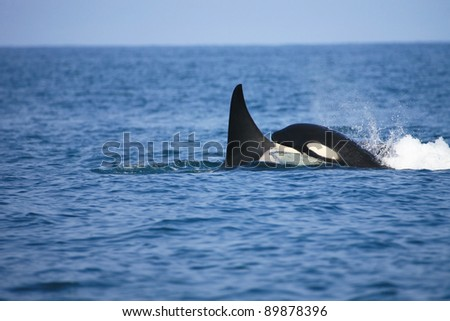 killer whale female traveling with her calf