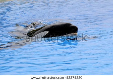 Killer whale in the water on a blue background