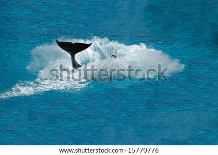 Killer whale jumping out from water and splashes a lot of water.