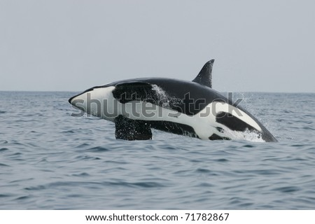 Killer whale male jumping in the wild