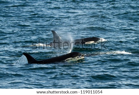 killer whale mother with her calve