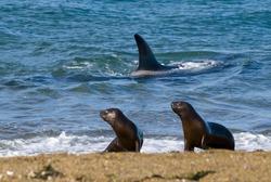 Killer Whale, Orca, hunting a sea lion pup, Peninsula Valdez, Patagonia Argentina