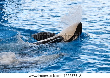 Killer Whale (Orca) on water surface