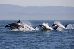 Killer Whale - (Orcinus Orca)