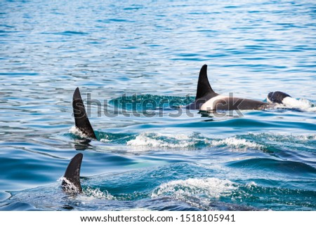 Killer whales in Kamchatka. Killer whales in the wild against a landscape with volcanoes
