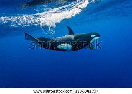 Killer whales in the blue Pacific Ocean way offshore from New Zealand.