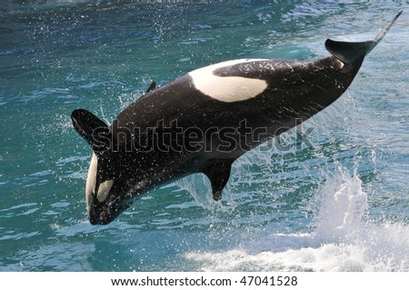 killer whales (Orcinus orca) jumping out of  water