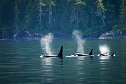 Killer whales: three orcas in a row at Telegraph cove at Vancouver Island, British Columbia, Canada.