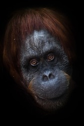 kind look. Clever intellectual face of an orangutan with an ironic look and a half smile, dark background. Isolated black background.