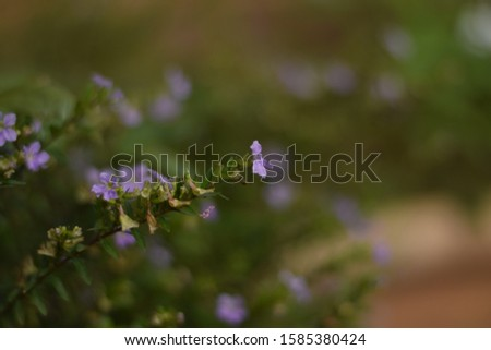 Kind of lavender flowers, it will be grown for decorating the garden.