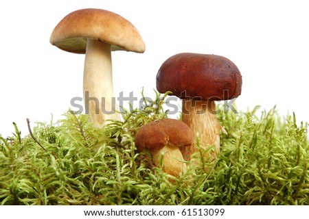 King boletus mushrooms bunch with green moss on white background