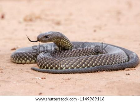 King Brown Snake