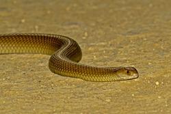 King Brown Snake (Pseudechis australis)