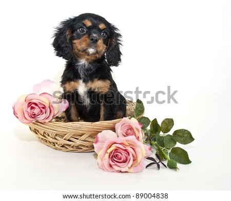 king Charles Cavalier puppy sitting in a basket with pink roses around her, on a white background.