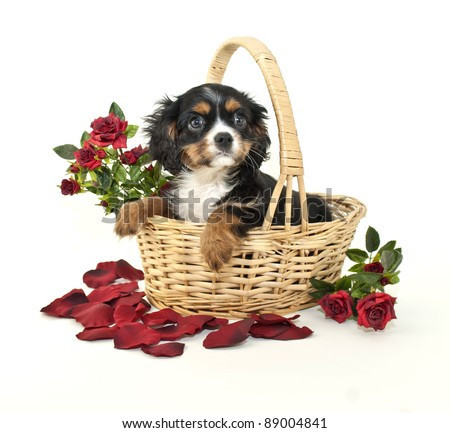 king Charles Cavalier puppy sitting in a basket with red roses around her, on a white background.