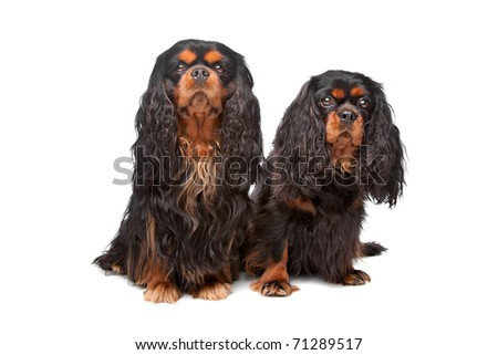 King Charles Spaniel also known as the English Toy Spaniel #71289517