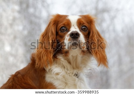 King Charles Spaniel (English Toy Spaniel) - small dog breed of the spaniel type against a blurred background. #359988935