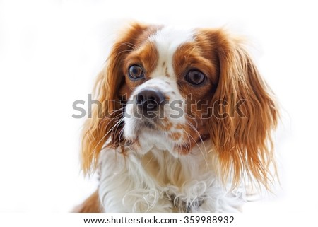 King Charles Spaniel (English Toy Spaniel) - small dog breed of the spaniel type. White background. #359988932
