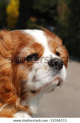 King Charles spaniel with his head out the car window