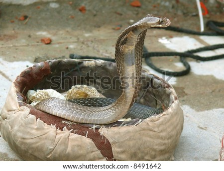 king cobra coming out, rishikesh, india