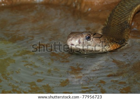 king cobra  on the water