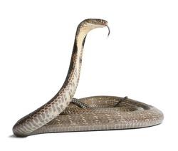 king cobra - Ophiophagus hannah, poisonous snake, white background