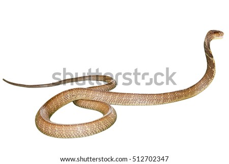 King Cobra Snake Ophiophagus hannah, isolated on white background. Side view. Phobia concept.