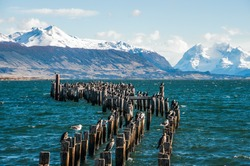 King Cormorant colony, Old Dock, Puerto Natales, Antarctic Patagonia, Chile
