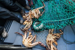 King crab, also called stone crab, part of the superfamily of crab-like decapod crustaceans caught in Norwegian waters.