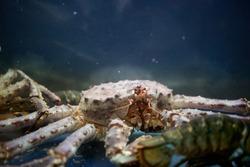 King crab in aquarium in blue water