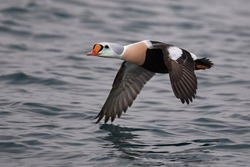 King Eider flying above a lake