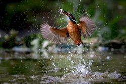 king fisher bird jump for feed a fish. Italy