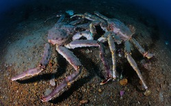 King kamchatka crabs can be found at a depth of over 20 m in spring
