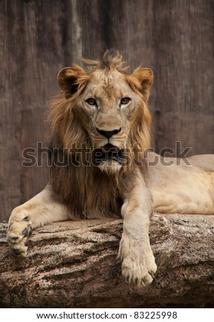 King of the beasts sitting on a rock
