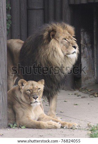 King of the Jungle is an apt description of this fine Male Lion and Queen of the Jungle would fit his Lioness equally well. They look to be quite a devoted pair.