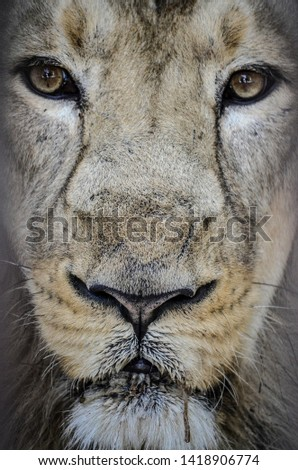 King of the Jungle Lion Close up at Gir Forest