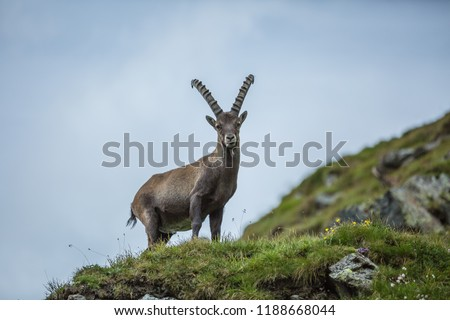 King of the mountains - Alpine Ibex or Steinbock (Capra ibex), Grossglockner, Hohe Tauern National Park, Tyrol, Austria