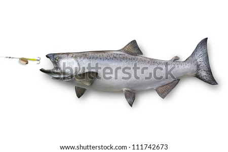 King or chinook salmon chasing lure  isolated on white