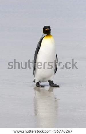 King penguin (Aptenodytes patagonicus) walking on the beach at Volunteer Point, Falkland Islands