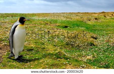 King Penguin at Volunteer Point, Falkland Islands