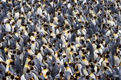 King penguin colony.