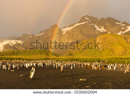 King Penguin colony at Gold Harbor photographed in the golden light of dawn. A double rainbow is overhead. Young penguins with brown down, lush green foothills and rugged snowy mountains are pictured.